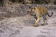 Bengal Tiger On Patrol