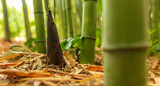 Young bamboo grows out of the ground in the park