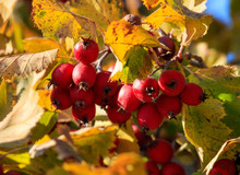 Red Berries Of Hawthorn On A Tree In Autumn