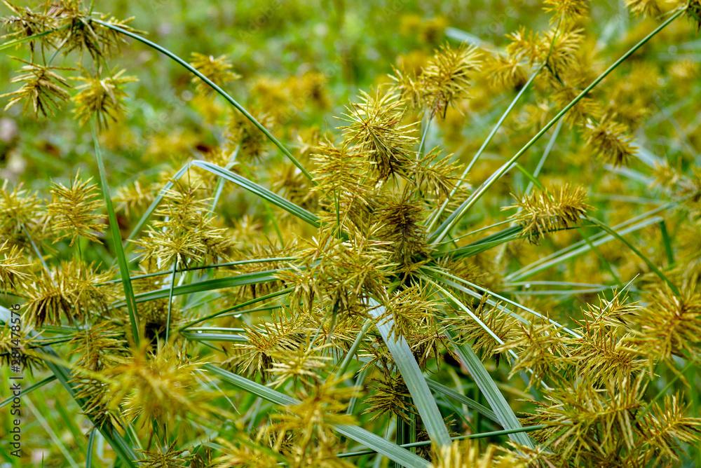 Fotografie, Obraz Horizontal image of common nutsedge (Cyperus esculentus), a perennial weed, in f