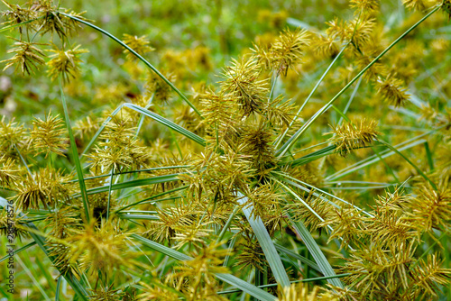 Fotografie, Obraz Horizontal image of common nutsedge (Cyperus esculentus), a perennial weed, in f