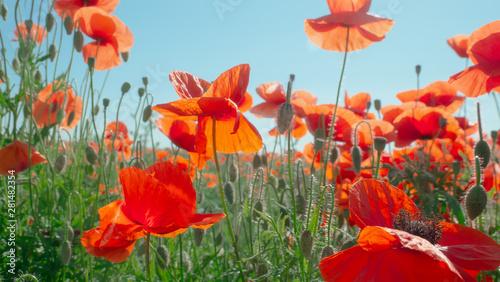 Canvas Prints Poppy Summer poppy flowers on green field