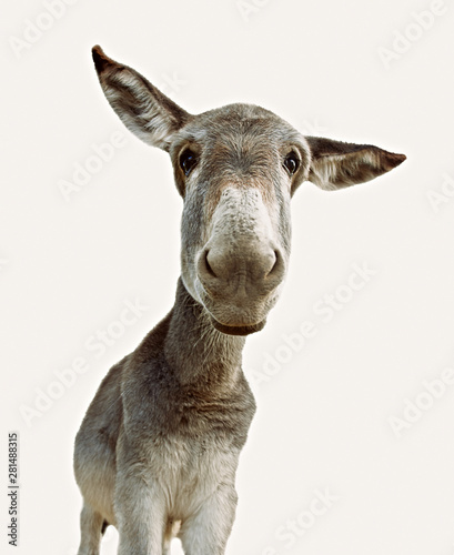 Montage in der Fensternische Esel Donkey looking at camera isolated on white