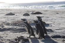 Magelabic Penguin Trio