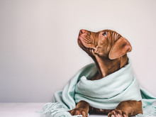 Young, Charming Puppy, Wrapped Up In A Gray Scarf. Close-up, Isolated Background. Studio Photo. Concept Of Care, Education, Training And Raising Of Pets