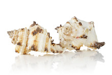 Group Of Two Whole Prickly Mollusc Shell With Ocher Spikes Isolated On White Background