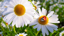Ladybug On A Camomile Close-up...