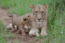 Lioness And 6 Week Male Old Ma...