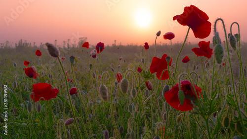 Photo sur Toile Poppy Red wild poppy flower in a field at sunrise