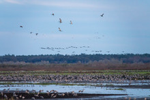 Wintering Sandhill Cranes Gathering To Roost At L Chua Sink, Paynes Prairie State Park, Florida