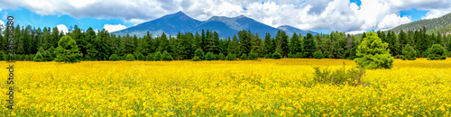 Tuinposter Meloen Flowers and Mountains. Mexican Sunflower Field in Flagstaff Arizona Panoramic