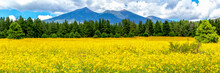 Flower Meadow With Pine Trees ...