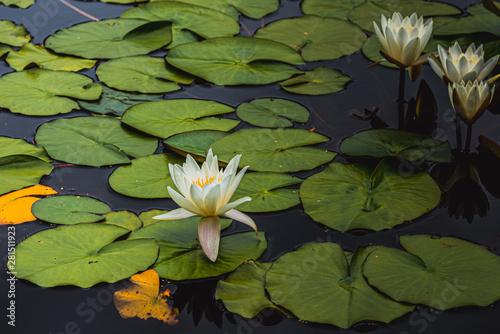 Fototapeta Lilia wodna  grzybienie-biale-nymphaea-alba-lilia-wodna
