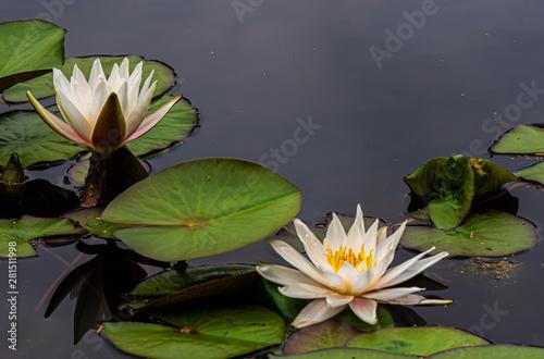 Obrazy lilia wodna  grzybienie-biale-nymphaea-alba-lilia-wodna