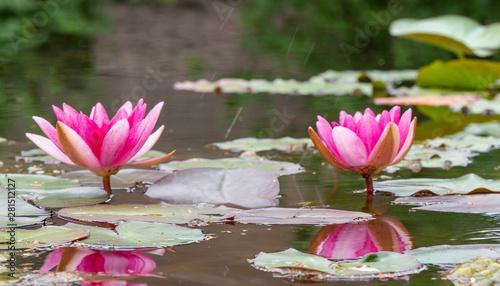 Obrazy lilia wodna  kultywar-grzybienie-grzybien-nymphaea-alba-lilia-wodna