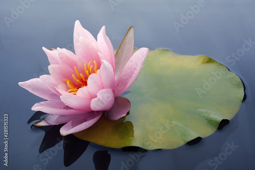Valokuvatapetti Beautiful pink lotus or water lily flowers blooming on pond