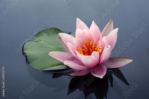 Deurstickers Waterlelies Beautiful pink lotus or water lily flowers blooming on pond