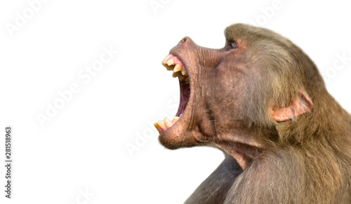 Tuinposter Aap Baboon isolated on white background. Baboon monkey (Pavian genus Papio) screaming out loud with large open mouth and showing pronounced sharp teeth in loud intimidating aggressive behaviour display