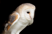 Portrait Of A Barn Owl (tyto Alba) With A Black Background