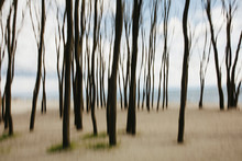Blurred Motion Of Elm Trees On...
