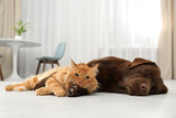 Fototapeta Zwierzęta - Cat and dog together looking at camera on floor indoors. Fluffy friends