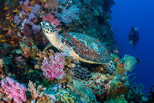 Hawksbill Turtle And Backgroun...