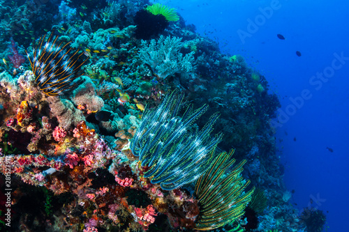 obraz PCV Delicate feather stars on a tropical coral reef