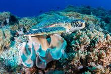 A Green Sea Turtle (Chelonia M...