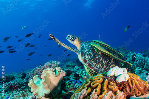 Spoed Fotobehang Schildpad A Green Sea Turtle (Chelonia mydas) on a colorful tropical coral reef