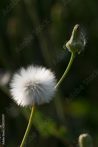 Fotografie, Obraz field sow-thistle (Sonchus arvensis)