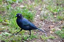 A Brewer's Black-bird Perching...