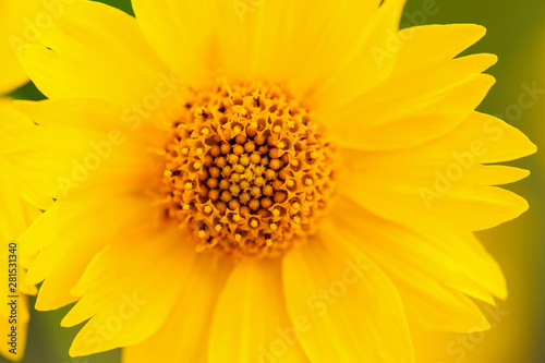 Yellow Mexican Sunflower Center Macro Shot