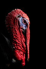 Close Up Of Wild Turkey