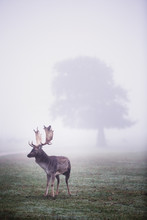 Deer Standing In Park During M...