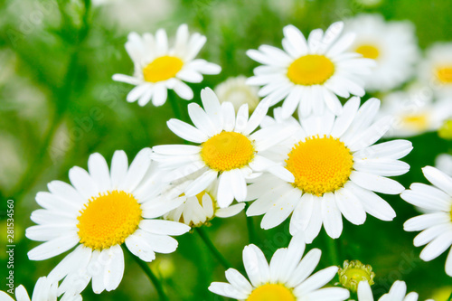Fototapety, obrazy: Medicine chamomile flowers. Aromatherapy by herbs camomile daisy flowers