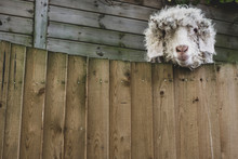 Portrait Of Sheep Looking Over Wooden Fence