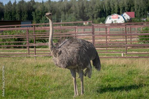Autocollant pour porte Autruche Ostrich. Photo of bird head and neck. Portrait of animal
