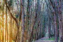 Wood Lane (AKA Lover's Lane) Trail At Sunset. The Presidio, San Francisco, California, USA.