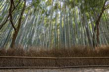 View Of Arashiyama Bamboo Forest