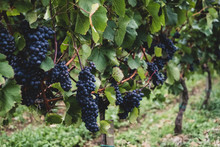 Grapes Growing On Plant In Vin...