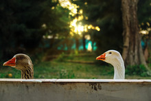 Two Geese Peek Over A Wall At Sunset