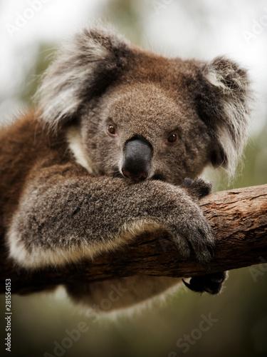 Canvas Prints Koala koala on branch