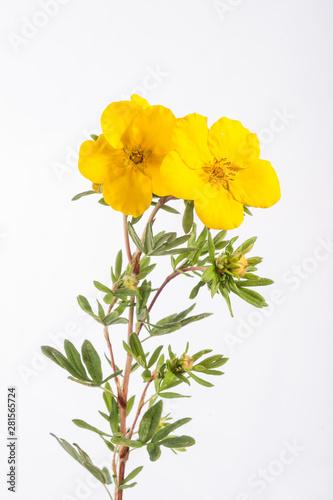 Obraz na plátně Potentilla Plant - Goldstar