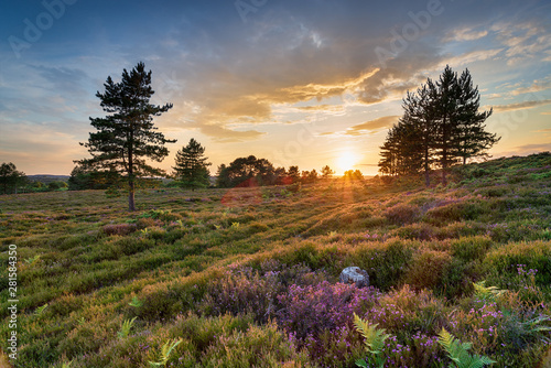 Fotografie, Tablou  Stunning sunset over heather and Scots Pine trees on Slepe Heath