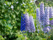 Delphinium. A Group Of Blue Tall Beautiful Flowers. Blurred Green Background.