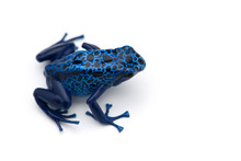 The Blue Poison Dart Frog Isol...