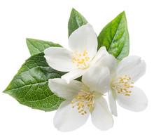 Blooming Jasmine Branch Isolat...