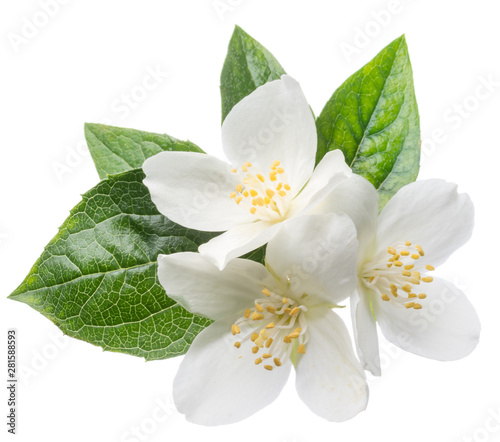 Blooming jasmine branch isolated on white. Poster Mural XXL