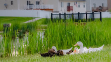 Panorama White And Brown Ducks...