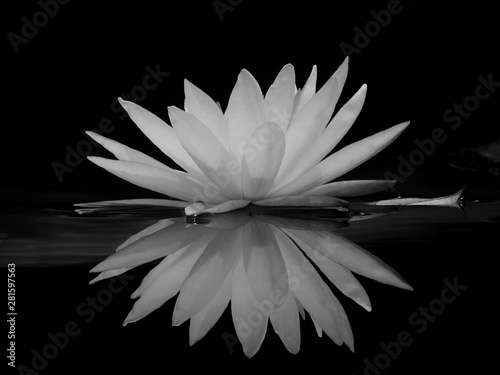 Autocollant pour porte Nénuphars black and white lotus with water reflection
